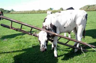 Cow with head stuck in ladder, Ayrshire. (Picture courtesy of Metro/PA)