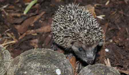 Wildlife gardening encourages bees, moths, birds and hedgehogs