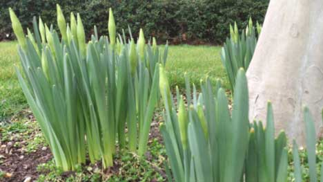 Daffodils in March Jobs in the Garden for St Davids Day