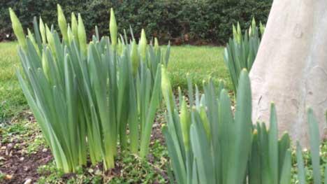 St Davids Day Daffodils