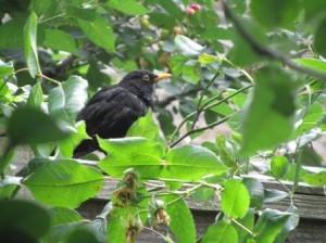 Blackbird on a garden fence
