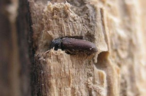 Woodworm - Furniture Beetle in Timber Image by Kai-Martin Knaak from Wikipedia