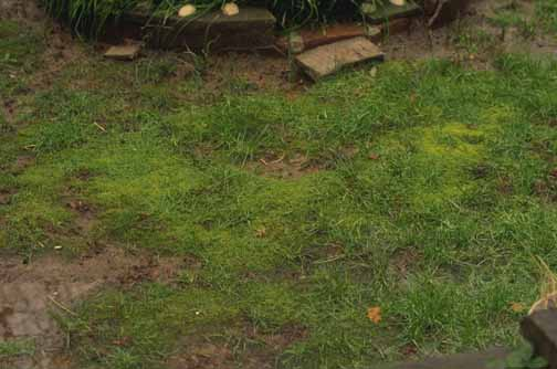 Moss growth on shaded lawn