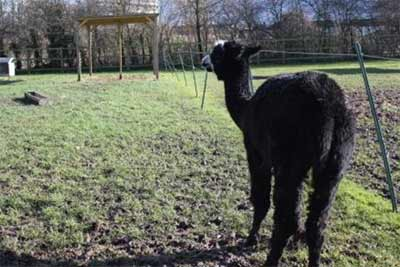 Alpaca with Shelter at Deen City Farm