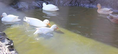Ducks swimming in pond made by volunteers