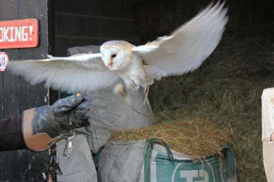 Edna the Barn Owl