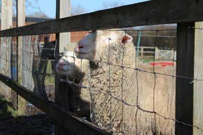 Sheep at Deen City Farm