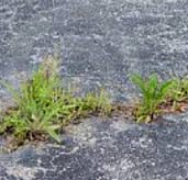 Removing weeds from a tarmac drive