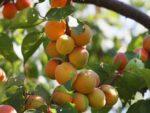 Planted apple tree bearing fruit