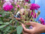 Deadheading flowers
