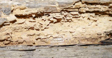 Deathwatch beetle damage to timber