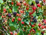 Blackberry's and raspberry's