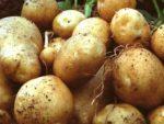 Freshly picked potatoes