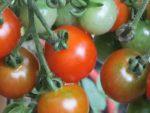 Growing tomatoes on the vine