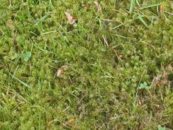 Moss growing on lawn