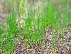 Newly seeded lawn