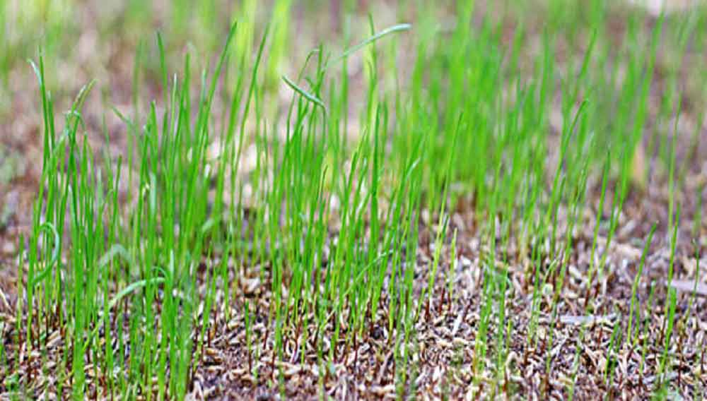How To Seed A Lawn Growing A Lawn From Scratch Diy Doctor