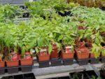 Supermarket herbs
