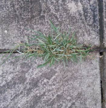 Weed and grass growth in patio joint