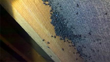 Cluster flies in loft