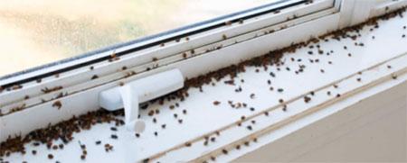 Cluster flies gathering around window