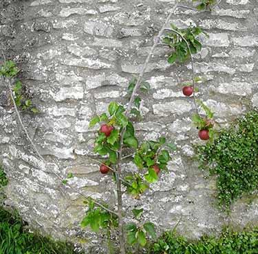 Red Falstaff apple tree producing fruit