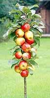 Supercolumn Apple Tree