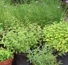 Gorwing herbs in containers and pots