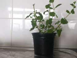 Newely Potted Herb Plant