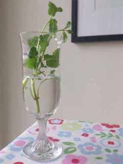 Mint Plant Ready to Pot