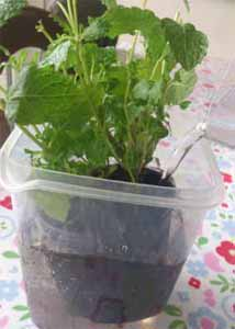 Herb Pot Well Watered