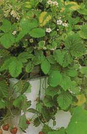 Alpine Strawberries in Container