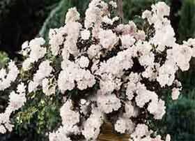 White Rose in Hanging Basket