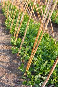 Peas Planted in Cain Sticks