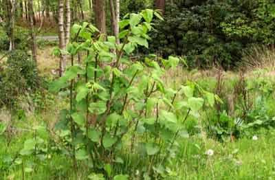 Wild growing Japanese Knotweed