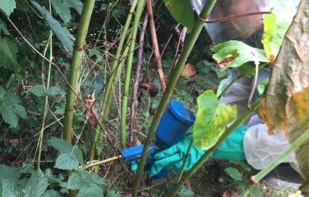 Using chemicals on Japanese knotweed