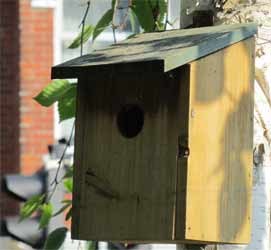 Small bird box attached to a young silver birch tree in a town garden