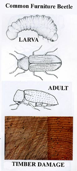 Lifecylcle of a woodworm or furniture beetle