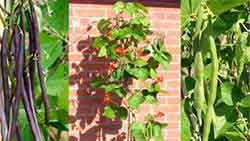 Runner Bean Plants Grown From Seed