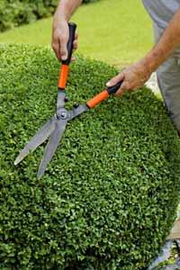 Trimming a Topiary Box Bush
