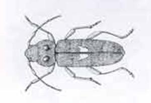 Adult Longhorm Beetle