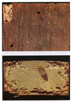 Damaged caused by Longhorn beetle