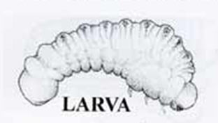 The common Furniture Beetle larva