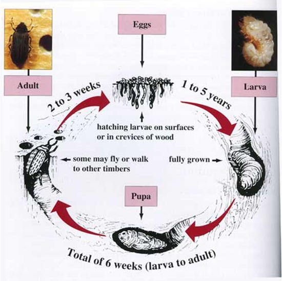 The lifecycle of the Common Furniture Beetle or Woodworm