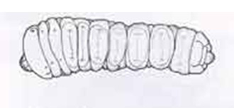Longhorm Beetle larva